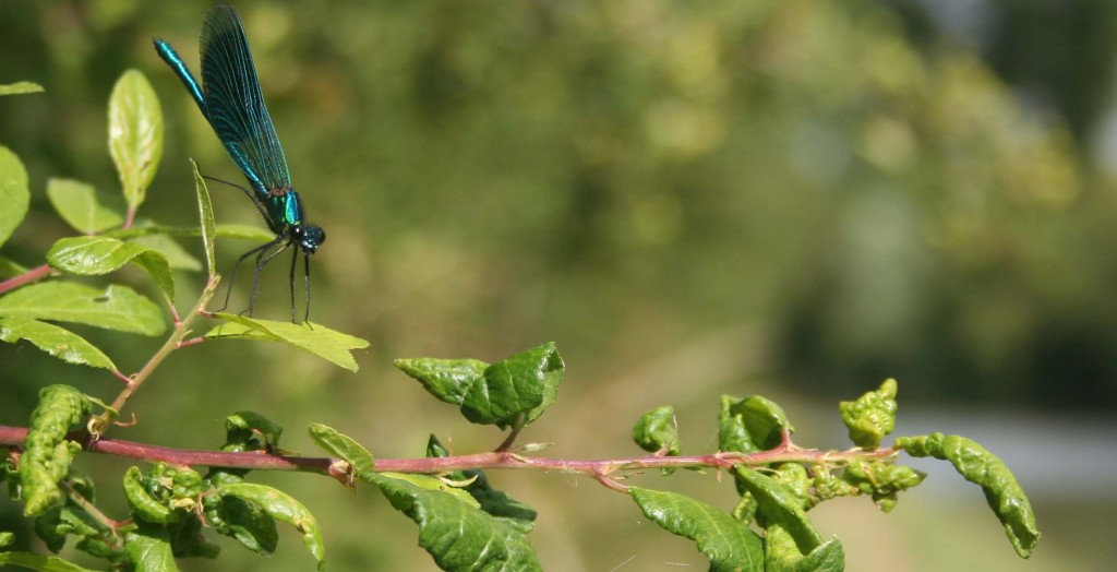 Damselfly on the Grand Union