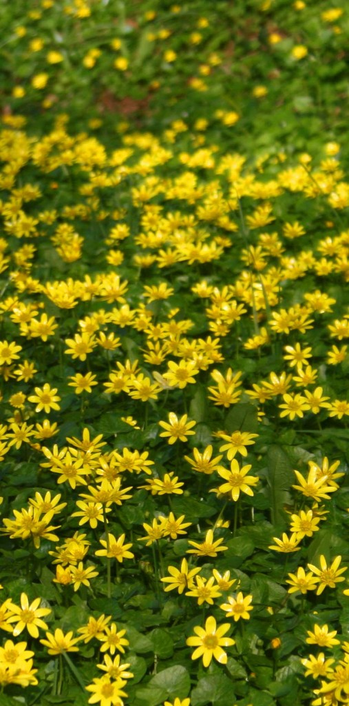 Celandines at Bascote Heath