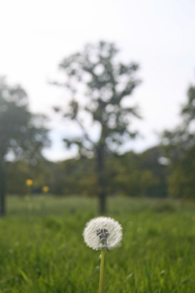 Dandelion Clock awaits at Bascote Heath meadow