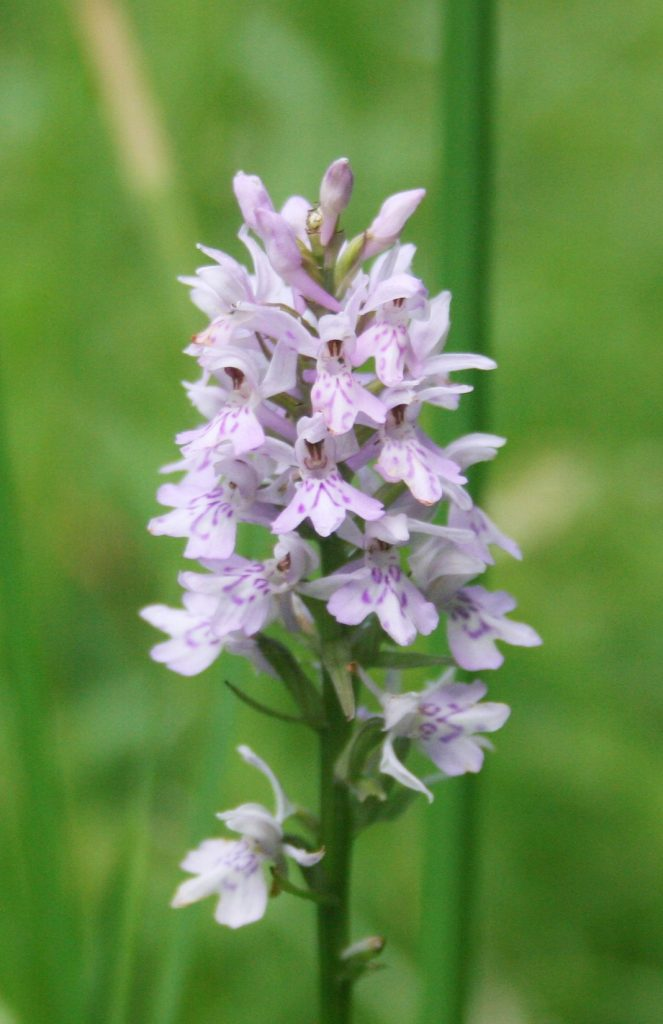 Common Spotted Orchid at Bascote Heath